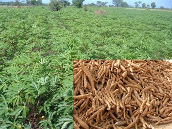 Cassava-plantation