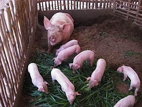 pig-farming-nigeria