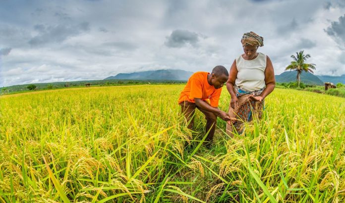 agricultural business rice farmer bank loan nigeria