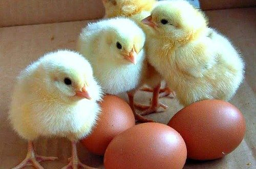 how to start poultry busines Nigeria Africa