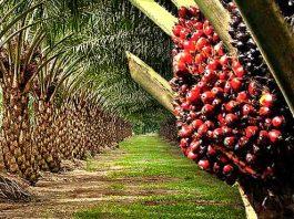 govt support oil palm business nigeria sme digest africa