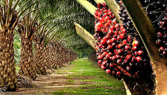 govt support oil palm business nigeria sme digest africa